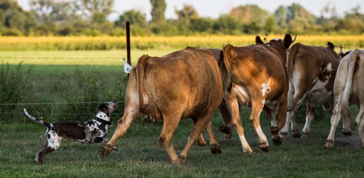 catahoula-cow